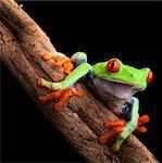 red eyed tree frog at night in tropical rainforest treefrog Agalychnis callydrias in jungle Costa Rica bright vivid colors Stock Photo - Royalty-Free, Artist: kikkerdirk                    , Code: 400-05915947