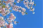 Sakura flowers against the blue sky Stock Photo - Royalty-Free, Artist: TatyanaSavvateeva             , Code: 400-05946729