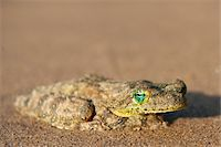 Close-up of Frog on Beach near Paraty, Brazil Stock Photo - Premium Royalty-Freenull, Code: 600-05947908