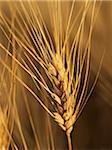Close-up of Ear of Wheat Stock, Alberta, Canada Stock Photo - Premium Royalty-Free, Artist: Michael Mahovlich, Code: 600-05948100