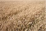 Close-up of Wheat Field, Alberta, Canada Stock Photo - Premium Royalty-Free, Artist: Michael Mahovlich, Code: 600-05948108