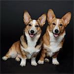 Welsh Corgis Dogs Stock Photo - Premium Rights-Managed, Artist: ableimages, Code: 822-05948463