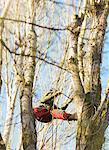 Tree Surgeon Working on Tree Stock Photo - Premium Rights-Managed, Artist: ableimages, Code: 822-05948572