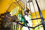 Budgerigar in Cage Stock Photo - Premium Rights-Managed, Artist: ableimages, Code: 822-05948725