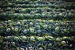Field of Cabbage Stock Photo - Premium Rights-Managed, Artist: ableimages, Code: 822-05948806