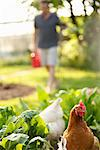 Chickens Roaming in Vegetable Garden Stock Photo - Premium Rights-Managed, Artist: ableimages, Code: 822-05948832
