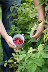 Man picking raspberries from bush Stock Photo - Premium Royalty-Free, Artist: Photocuisine, Code: 649-05950399
