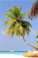 paradise (place of bliss) - Palm trees growing on tropical beach Stock Photo - Premium Royalty-Freenull, Code: 649-05950450