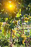 Close up of grapes on vine in vineyard Stock Photo - Premium Royalty-Free, Artist: Cultura RM, Code: 649-05951119