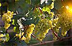 Close up of grapes on vine in vineyard Stock Photo - Premium Royalty-Freenull, Code: 649-05951120