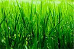 Grass Stock Photo - Premium Royalty-Free, Artist: CulturaRM, Code: 698-05957382