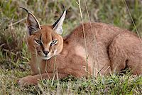serengeti national park - Caracal (Caracal caracal), Serengeti National Park, Tanzania, East Africa, Africa Stock Photo - Premium Rights-Managednull, Code: 841-05961011