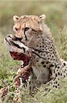 Cheetah (Acinonyx jubatus) cub with a Thomson's gazelle kill, Serengeti National Park, Tanzania, East Africa, Africa Stock Photo - Premium Rights-Managed, Artist: Robert Harding Images, Code: 841-05961016