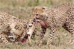 Two cheetah (Acinonyx jubatus) cubs at an African hare kill, Serengeti National Park, Tanzania, East Africa, Africa Stock Photo - Premium Rights-Managed, Artist: Robert Harding Images, Code: 841-05961019