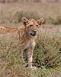 Lion (Panthera leo) cub, Serengeti National Park, Tanzania, East Africa, Africa Stock Photo - Premium Rights-Managed, Artist: Robert Harding Images, Code: 841-05961033