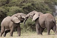 Two African elephant (Loxodonta africana) sparring, Serengeti National Park, Tanzania, East Africa, Africa Stock Photo - Premium Rights-Managednull, Code: 841-05961069