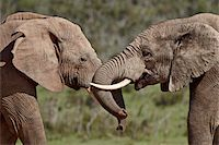 Two African elephant (Loxodonta africana) face to face, Addo Elephant National Park, South Africa, Africa Stock Photo - Premium Rights-Managednull, Code: 841-05961357