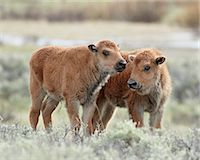 Two bison (Bison bison) calves, Yellowstone National Park, UNESCO World Heritage Site, Wyoming, United States of America, North America Stock Photo - Premium Rights-Managednull, Code: 841-05961410