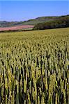 A field of summer crops growing near Kimmeridge, Dorset, England, United Kingdom, Europe Stock Photo - Premium Rights-Managed, Artist: Robert Harding Images, Code: 841-05962028