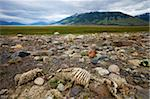 Sheep skeleton on the plains of Patagonia, El Calafate, Patagonia, Argentina, South America Stock Photo - Premium Rights-Managed, Artist: Robert Harding Images, Code: 841-05962398