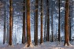 Snow covered winter woodland, Morchard Wood, Devon, England, United Kingdom, Europe Stock Photo - Premium Rights-Managed, Artist: Robert Harding Images, Code: 841-05962618