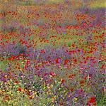 Field of flowers in rural landscape Stock Photo - Premium Royalty-Free, Artist: AWL Images, Code: 635-05972850