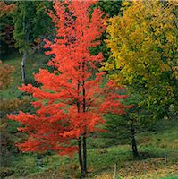 Red autumn tree in rural forest Stock Photo - Premium Royalty-Freenull, Code: 635-05972863