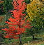 Red autumn tree in rural forest Stock Photo - Premium Royalty-Free, Artist: Blend Images, Code: 635-05972863