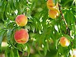Peaches on Tree Branches, Hipple Farms, Beamsville, Ontario, Canada Stock Photo - Premium Royalty-Free, Artist: Michael Mahovlich, Code: 600-05973011