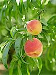 Peaches on Tree Branches, Hipple Farms, Beamsville, Ontario, Canada Stock Photo - Premium Royalty-Free, Artist: Michael Mahovlich, Code: 600-05973012