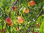 Peaches on Tree Branches, Hipple Farms, Beamsville, Ontario, Canada Stock Photo - Premium Royalty-Free, Artist: Michael Mahovlich, Code: 600-05973019
