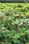 Raspberries Bushes, Barrie Hill Farms, Barrie, Ontario, Canada Stock Photo - Premium Royalty-Free, Artist: Michael Mahovlich, Code: 600-05973032