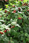 Raspberries Bushes, Barrie Hill Farms, Barrie, Ontario, Canada Stock Photo - Premium Royalty-Free, Artist: Michael Mahovlich, Code: 600-05973033