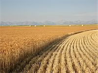 Partially Harvested Wheat Field, Rocky Mountains in Distance, Pincher Creek, Alberta, Canada Stock Photo - Premium Royalty-Freenull, Code: 600-05973410