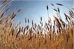Close-up of Ripened Wheat Stalks in Field against Sunlight, Pincher Creek, Alberta, Canada Stock Photo - Premium Royalty-Free, Artist: Michael Mahovlich, Code: 600-05973417