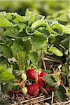 Ripe Strawberries, DeVries Farm, Fenwick, Ontario, Canada Stock Photo - Premium Royalty-Free, Artist: Michael Mahovlich, Code: 600-05973551