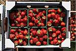 Harvested Strawberries, DeVries Farm, Fenwick, Ontario, Canada Stock Photo - Premium Royalty-Free, Artist: Michael Mahovlich, Code: 600-05973553