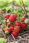 Ripe Strawberries on Plants, DeVries Farm, Fenwick, Ontario, Canada Stock Photo - Premium Royalty-Free, Artist: Michael Mahovlich, Code: 600-05973561