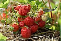 strawberries - Ripe Strawberries on Plants, DeVries Farm, Fenwick, Ontario, Canada Stock Photo - Premium Royalty-Freenull, Code: 600-05973562
