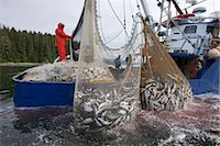 Commercial purse seine fishers haul their net while fishing for pink and chum salmon, Chatham Strait, Admiralty Island, SE Alaska (management unit 12) Stock Photo - Premium Rights-Managednull, Code: 854-05974224