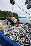 Commercial purse seine fishers work on deck covered with pink and chum salmon, Chatham Strait, Admiralty Island, SE Alaska (management unit 12) Stock Photo - Premium Rights-Managed, Artist: AlaskaStock, Code: 854-05974225