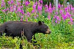 A Black Bear searches for soap berries along the Tatshenshini River, Tatshenshini-Alsek Wilderness, Yukon Territory, Canada, Summer Stock Photo - Premium Rights-Managed, Artist: AlaskaStock, Code: 854-05974226