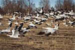 Flock of Snow Geese fly close to the ground over a field, Mat-Su Valley, Palmer, Southcentral Alaska, Spring Stock Photo - Premium Rights-Managed, Artist: AlaskaStock, Code: 854-05974405