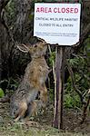 Snowshoe Hare stands on hind feet and sniff Area Closed sign, Denali National Park & Preserve, Interior Alaska, Summer Stock Photo - Premium Rights-Managed, Artist: AlaskaStock, Code: 854-05974453