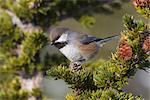 Close up of a Boreal Chickadee perched on a Hemlock bough, Chugach Mountains, Southcentral Alaska, Winter Stock Photo - Premium Rights-Managed, Artist: AlaskaStock, Code: 854-05974462