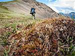 Backpacker hiking through tundra tussock above the Hulahula River, Arctic National Wildlife Refuge, Brooks Range, summer in Arctic Alaska Stock Photo - Premium Rights-Managed, Artist: AlaskaStock, Code: 854-05974572