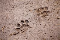 A pair of lion paw prints, close-up Stock Photo - Premium Royalty-Freenull, Code: 653-05976030