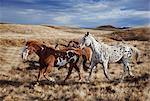 Running horses on Hideout Ranch in Shell, Wyoming, USA Stock Photo - Premium Royalty-Free, Artist: Minden Pictures, Code: 682-05976927