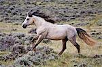 Wild horse (Equus caballus) stallion running free in sagebrush (Artemisia tridentata) priaire of Cody, Wyoming, USA Stock Photo - Premium Royalty-Free, Artist: CulturaRM, Code: 682-05976942