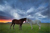Two horses facing each other under moody winter sunset, Eastern Cape highlands, South Africa Stock Photo - Premium Royalty-Freenull, Code: 682-05976983